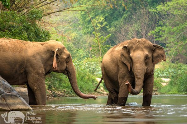 elephants relax by the river in northern thailand at elephant tour