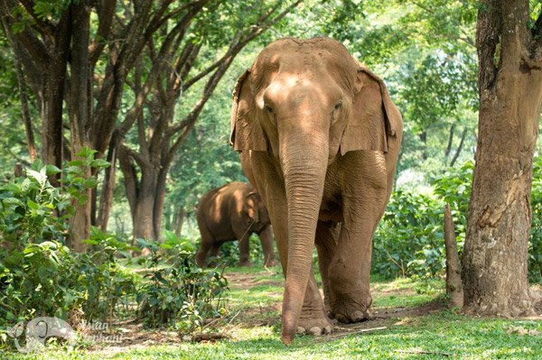 elephants walking in the forest at ethical elephant tour in thailand