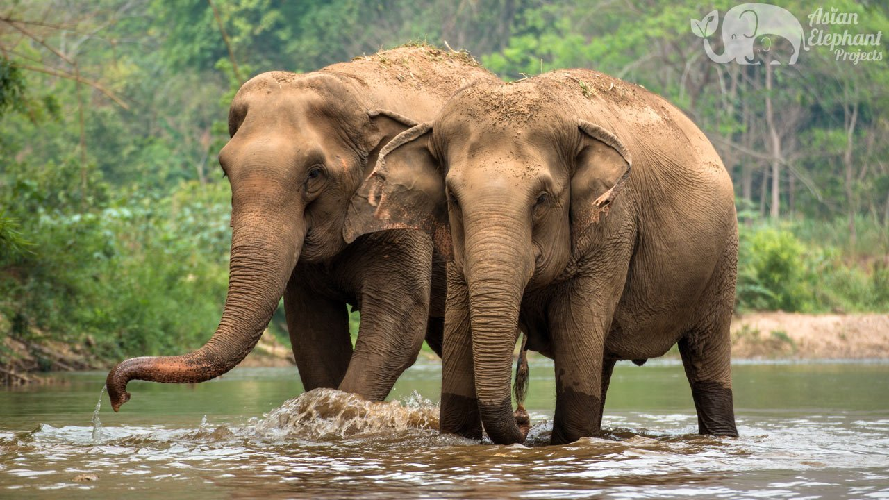 Elephants walking in the river at ethical elephant tour near Chiang Mai in Thailand