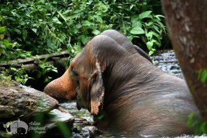 Elephants bathing in the river in at ethical elephant tour in Northen Thailand