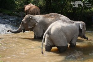 Elephants socialize in the stream