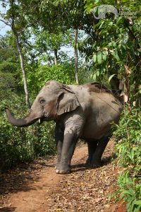 Walkoing with elephants at ethical elephant tour near Chiang Mai in Thailand