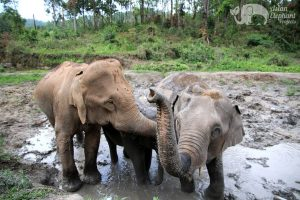 Elephants take a mud bath in Northern Thailand