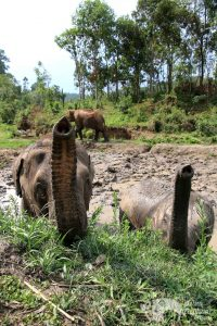 Elephants raise their trunks at elephant camp in Northern Thailand