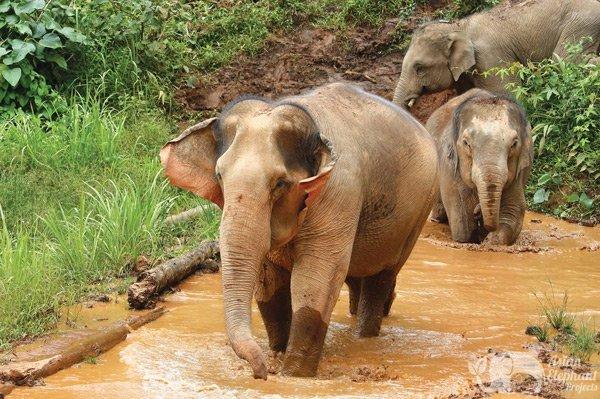 Elephants taking a mud bath at ethical elephant tour