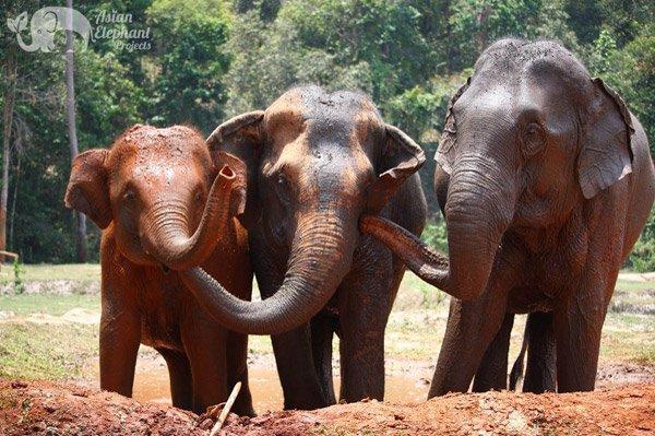 Elephants bonding at ethical elephant sanctuary near Chiang Mai in Thailand
