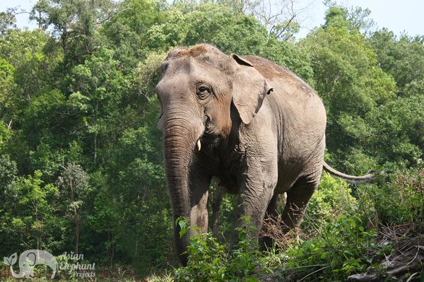Elephant roams the forest at ethical elephant tour near Chiang Mai in Thailand