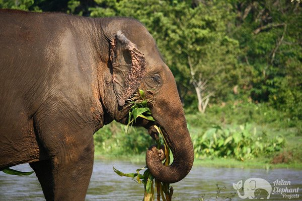 elephant foraging by the river at elephant camp