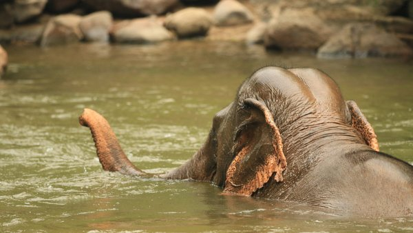 Elephant bathing in the river Northern Thailand