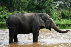 Old elephant stands in the river at elephant sanctuary