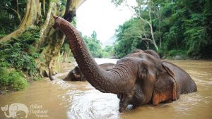 Elephants bathing in the river at at ethical elephant sanctuary near Chiang Mai in Thailand