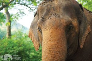 Close encounter with elephant at ethical elephant sanctuary near Chiang Mai in Thailand