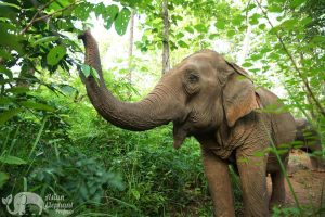 Elephant forages in the jungle at ethical elephant tour in Thailand near Chiang Mai