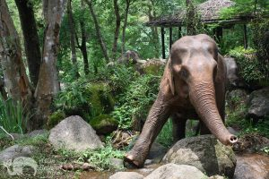 Elephant walking at ethical elephant sanctuary near Chiang Mai in Thailand