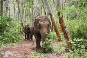 Walking with elephants while on vacation in Thailand at ethical elephant tour near Chiang Mai