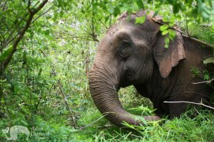 Elephant forages in the jungle at at ethical elephant tour in Thailand near Chiang Mai