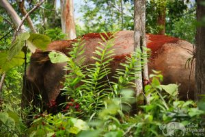 Elephant blends in with the forest at Sunshine for Elephants elephant sanctuary