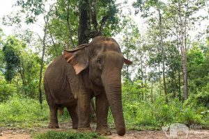 Elephants roaming the forest at ethical elephant sanctuary near Chiang Mai in Thailand