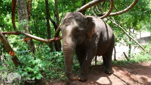 Elephant forging in the jungle at at ethical elephant sanctuary near Chiang Mai in Thailand