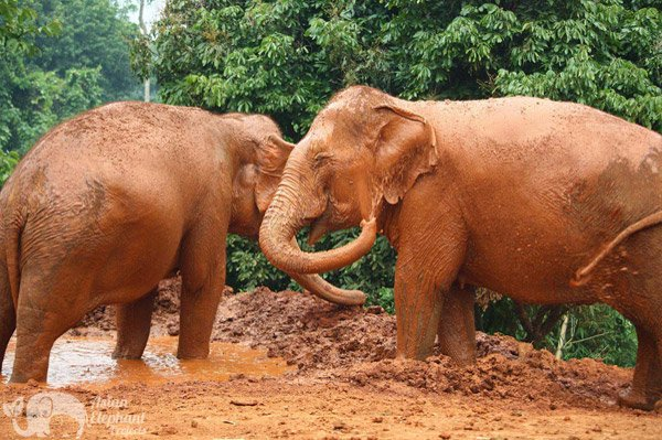 Elephants playing happily in the mud seen on vacation in Thailand