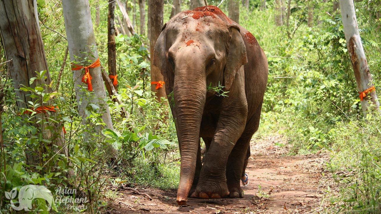 Elephant foraging in the forest at Sunshine for Elephants at at ethical elephant tour near Chiang Mai in Thailand