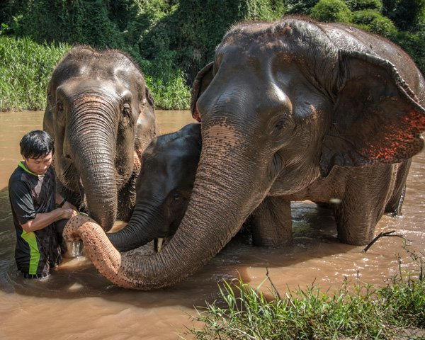 Elephants socialize in the river at ethical elephant sanctuary near Chiang Mai in Thailand