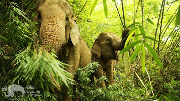 elephants forage on bamboo at Ethical elephant sanctuary Thailand