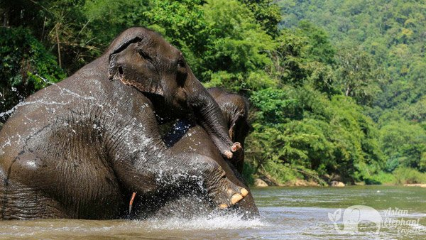 elephants playing in the river at Ethical elephant sanctuary Thailand