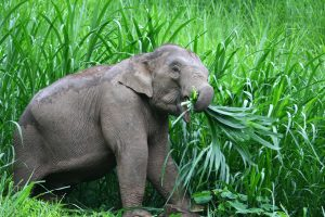 elephant eating wild grass at ethical elephant sanctuary near Chiang Mai in Thailand