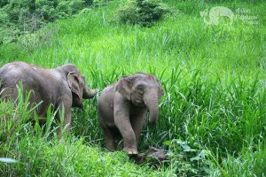 Elephants foraging on the mountain side at ethical elephant sanctuary near Chiang Mai in Thailand