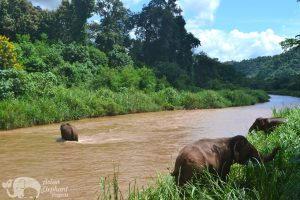 Elephants wandering in the river at ethical elephant sanctuary near Chiang Mai in Thailand