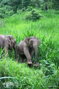 elephants foraging at ethical elephant sanctuary near Chiang Mai in Thailand