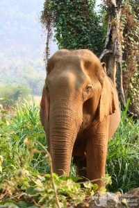 Elephant at elpehant tour in Thailand