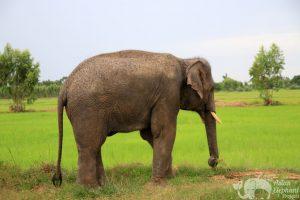 Elephant grazes at ethical elephant sanctuary near Surin in Thailand