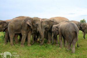 Herd of elephants communicating elephant sanctuary near Surin in Thailand