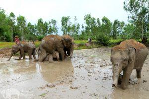 Elephants take a mud bath elephant sanctuary near Surin in Thailand