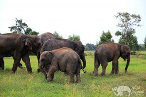 Herd of elephants at elephant sanctuary near Surin in Thailand