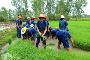 Planting rice as a volunteer at ethical elephant sanctuary near Surin in Thailand