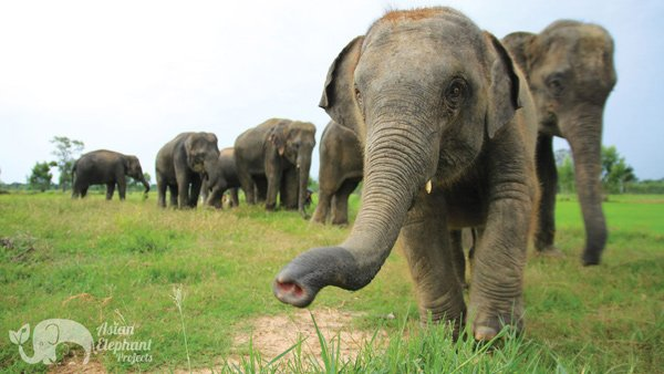 Elephant herd roaming at Elephant Homestay Khun Chai Thong Elephant_Homestay_Khun_Chai_Thong ethical elephant sanctuary