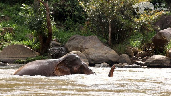 Elephants bathing in the river at Elephant Pride ethical elephant sanctuary