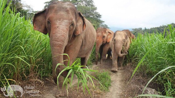 Herd of elephants roaming at Elephant Refuge Project ethical elephant sanctuary