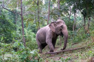 Elephant roams the forest at ethical elephant sanctuary near Chiang Mai in Thailand