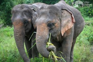 Elephants grazing at ethical elephant tour Chiang Mai Thailand