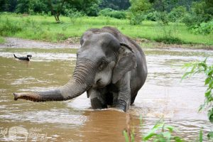Elephant swims in the river at ethical elephant sanctuary near Chiang Mai in Thailand