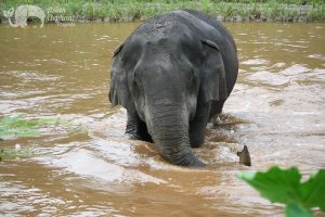 Elephant takes a swim in the river at ethical elephant sanctuary near Chiang Mai in Thailand