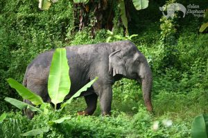 elephant roaming the jungle in Thailand