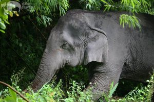 elephant raoming the jungle at ethical elephant sanctuary near Chiang Mai in Thailand