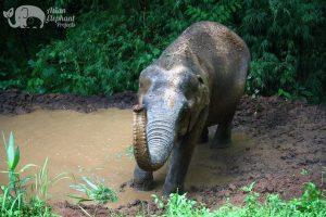 Elephant enjoying a swim at ethical elephant sanctuary near Chiang Mai in Thailand