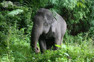 Elephant foraging in the jungle at Pamper a Pachyderm ethical elephant tour
