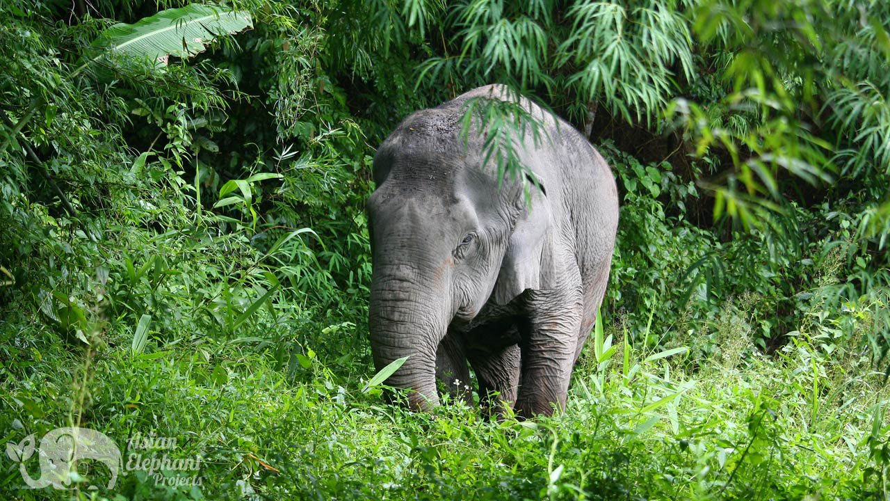 Elephant relaxes in the jungle at Pamper a Pachyderm ethical sanctuary